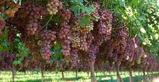 قیمت خرید روز کود اوره انگور