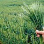 تامین کننده کود اوره کشاورزی