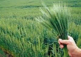 فروش کود سولفات آمونیوم گرانول برنج